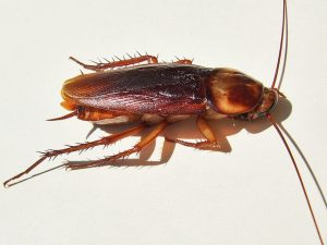 adult cockroach